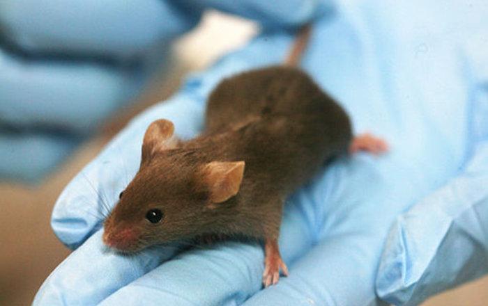 Ученые: мыши чувствуют боль друг дружку