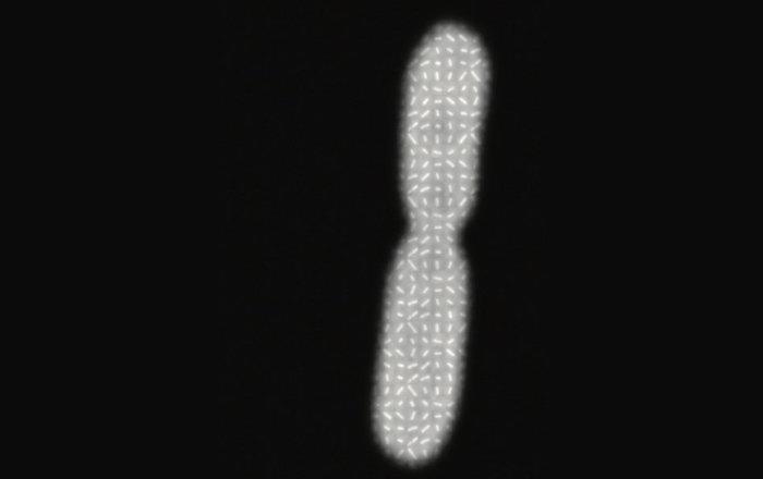 Биологи выяснили, что определяет размеры бактерии