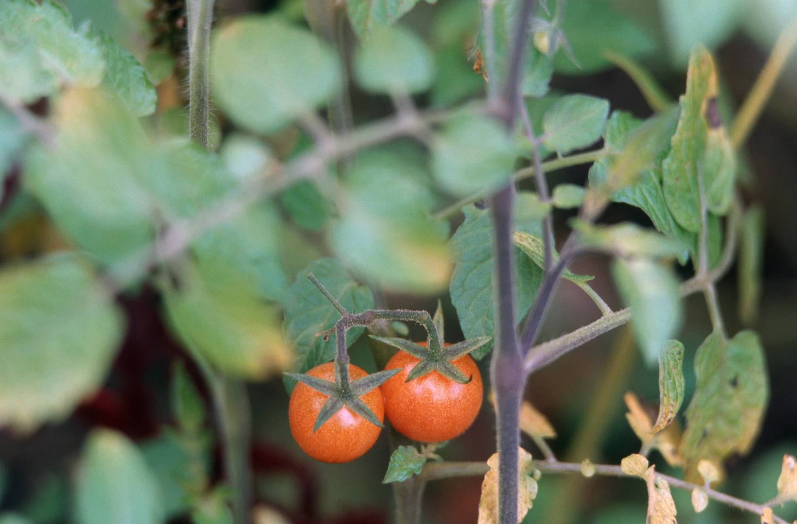 Исследователи прояснили историю одомашнивания томатов