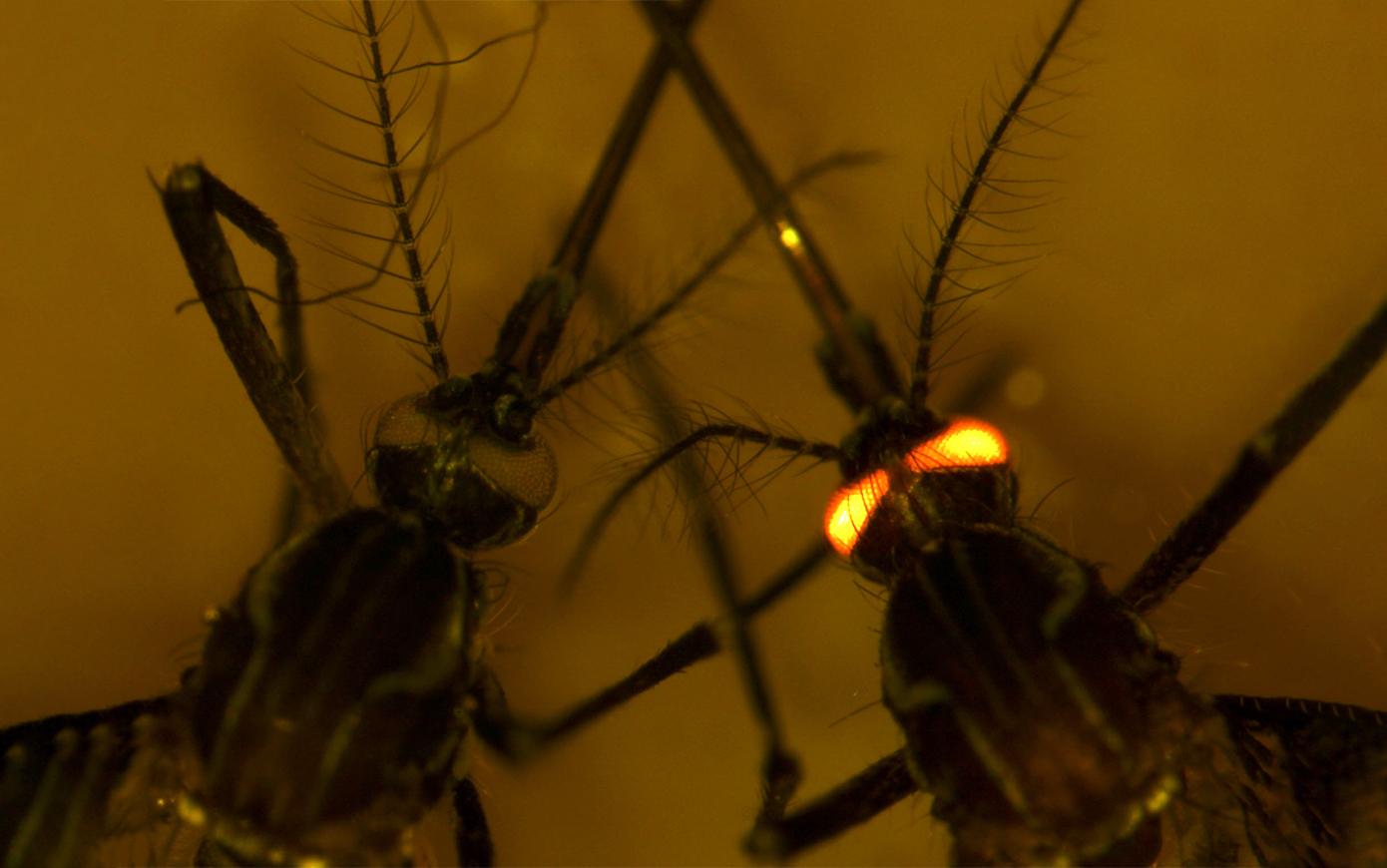 Лихорадка денге им нипочем