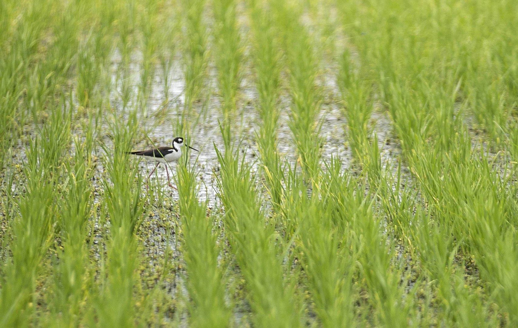 Содержание соединений мышьяка в почве рисовых полей точно измерили