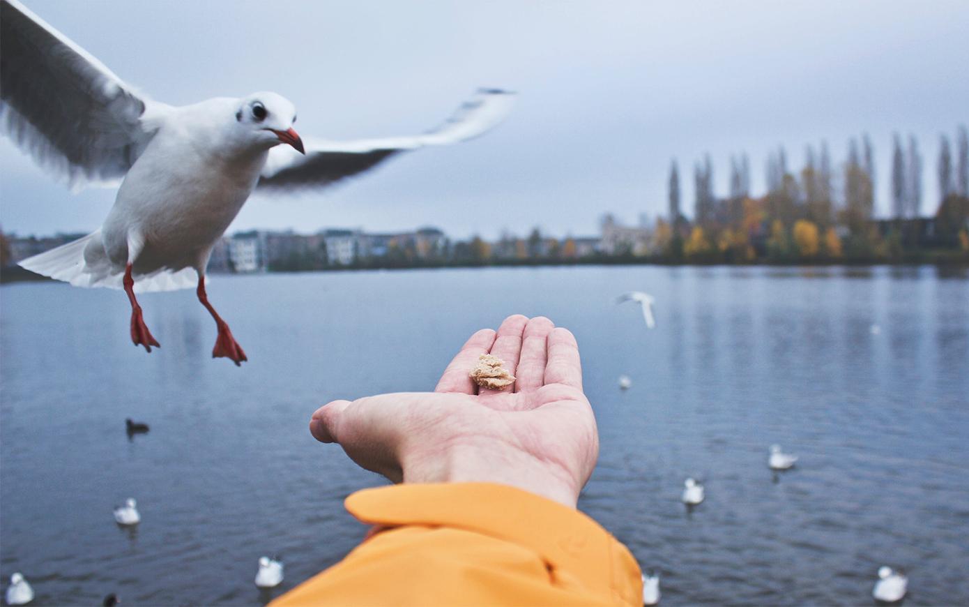 Чайки отдали предпочтение «подержанной» человеческой пище
