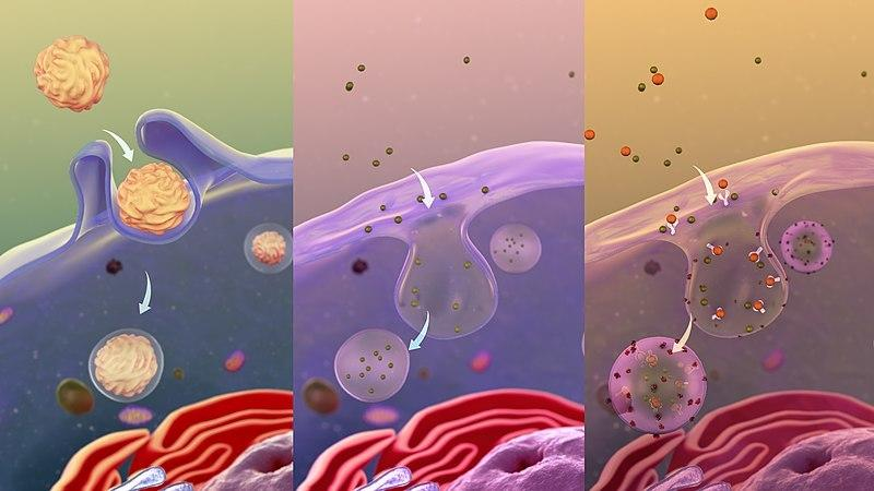 Схема трех видов эндоцитоза – поглощения чего-либо мембраной клетки: фагоцитоз (поглощение пищи с образованием пищеварительного пузырька-вакуоли), пиноцитоз (поглощение жидкости) и эндоцитоз, вызванный воздействием на определенные рецепторы